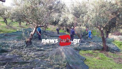 Θέμα newshub.gr: Στο λιόφυτο της... αλληλεγγύης - Ραβδίζουν 1300 ελαιόδεντρα όσοι έχουν ανάγκη! (φωτογραφίες)