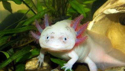 Axolotl – «Το Τέρας του Νερού»