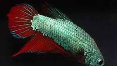 Ταλαιπωρημένο και... παρεξηγημένο: Ψάρι Μονομάχος Betta Fighting Fish (φωτογραφίες)