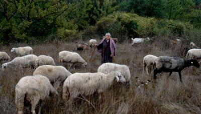 Πληρώνονται οι συνδεδεμένες ενισχύσεις για βοοειδή και αιγοπρόβατα