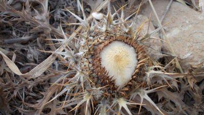 Ακόλια: Το φυτό προάγγελος της τσίχλας