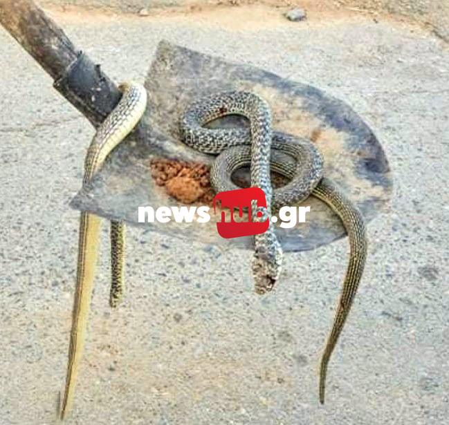 Γέμισαν φίδια! Τα Βγάζουν με φτυάρια από τις αυλές των σπιτιών τους[Φωτογραφίες]