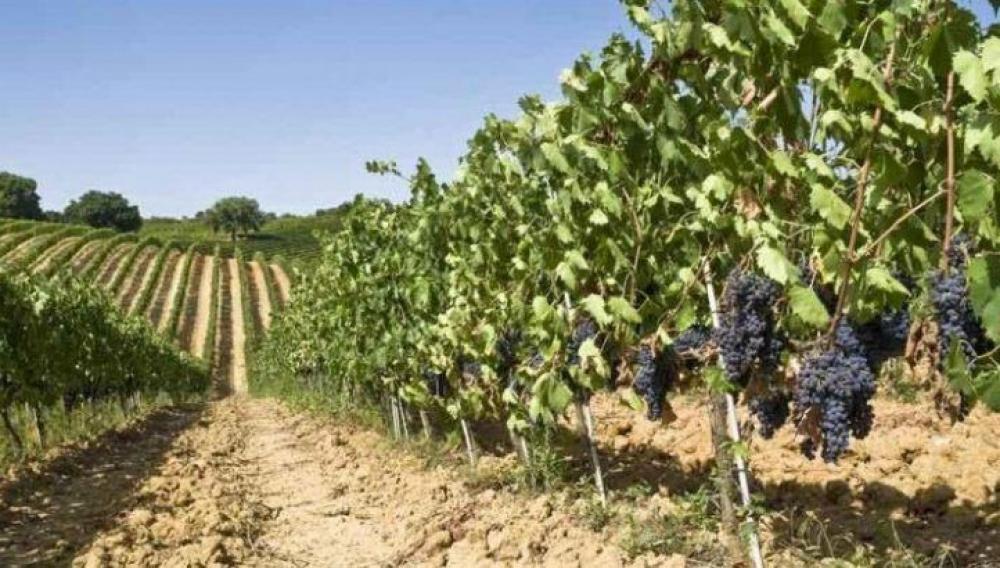Κρήτη: Γιατί απουσιάζουν βασικές ποικιλιές σταφυλιών από τον «πράσινο» τρύγο;