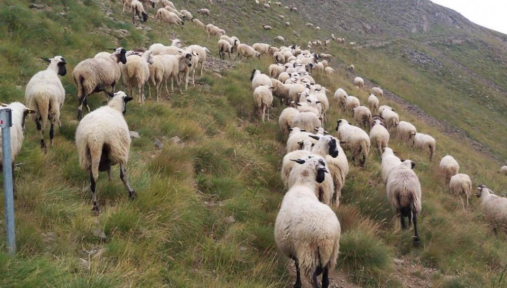 «Δεσμεύουμε 31 εκατομμύρια ευρώ για την ενίσχυση της ελληνικής αιγοπροβατοτροφίας»