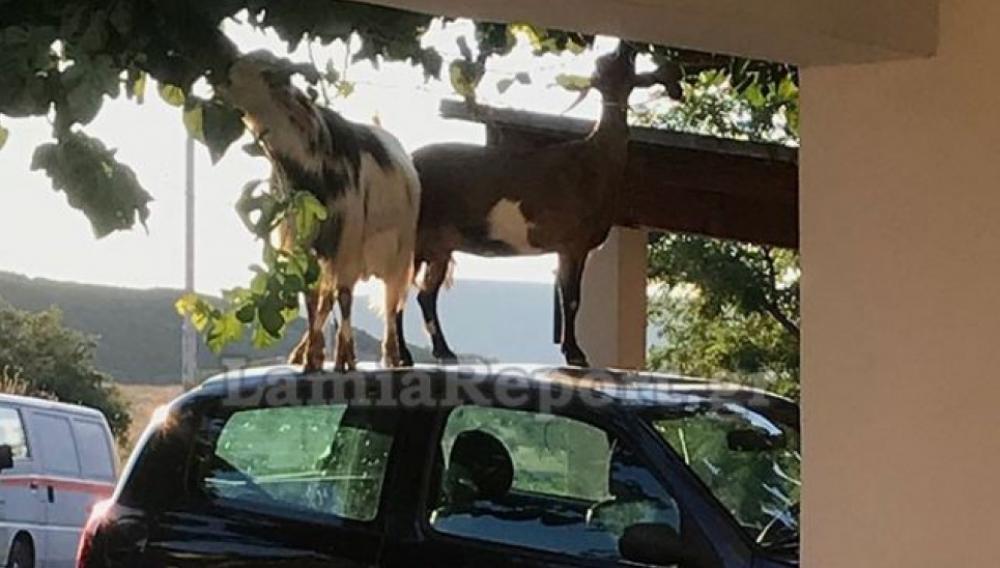 Οδηγός βρήκε κατσίκες να χοροπηδάνε πάνω στο αμάξι της