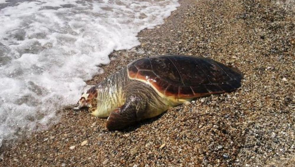 Νέες χελώνες καρέτα-καρέτα βρέθηκαν νεκρές...