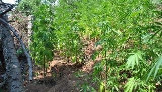 Μυλοπόταμος: Οι αστυνομικοί βρήκαν μια φυτεία «ορφανή»