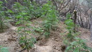 Ηράκλειο: Είχε τα δενδρύλλια στην «καβάντζα» (φωτογραφίες)
