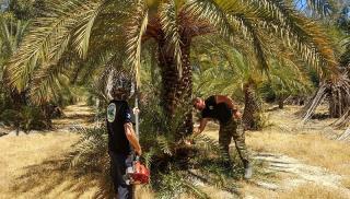 Κρήτη: Έδωσαν νέα πνοή στο δασάκι με τους σπάνιους φοίνικες (φωτογραφίες +βίντεο)