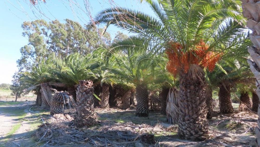 Καθαρίζουν το φοινικόδασος του Αφραθιά και την περιοχή της λίμνης Ζαρού!