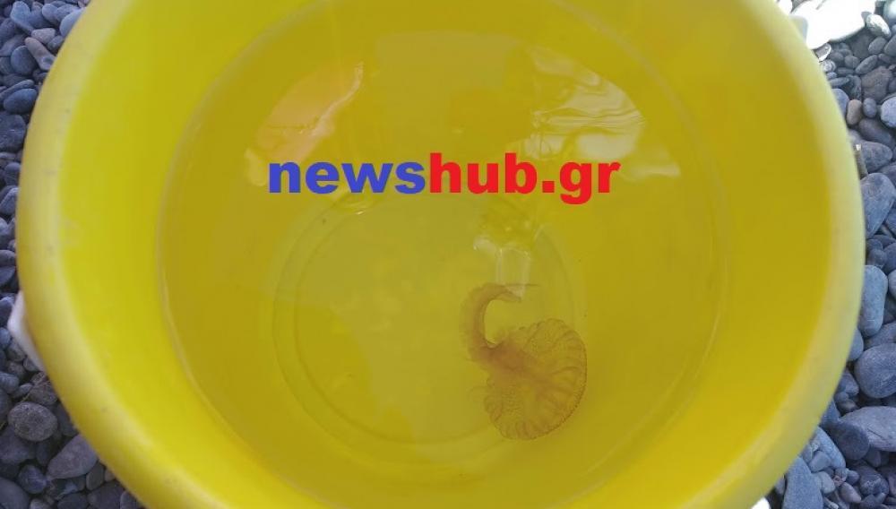 Θέμα newshub.gr: Οι τσούχτρες Pelagia noctiluca εμφανίστηκαν στις παραλίες της Κρήτης (φωτογραφιες)