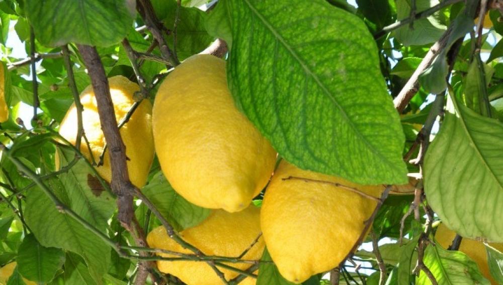 Και όμως εισάγουμε λεμόνια από την Αφρική!