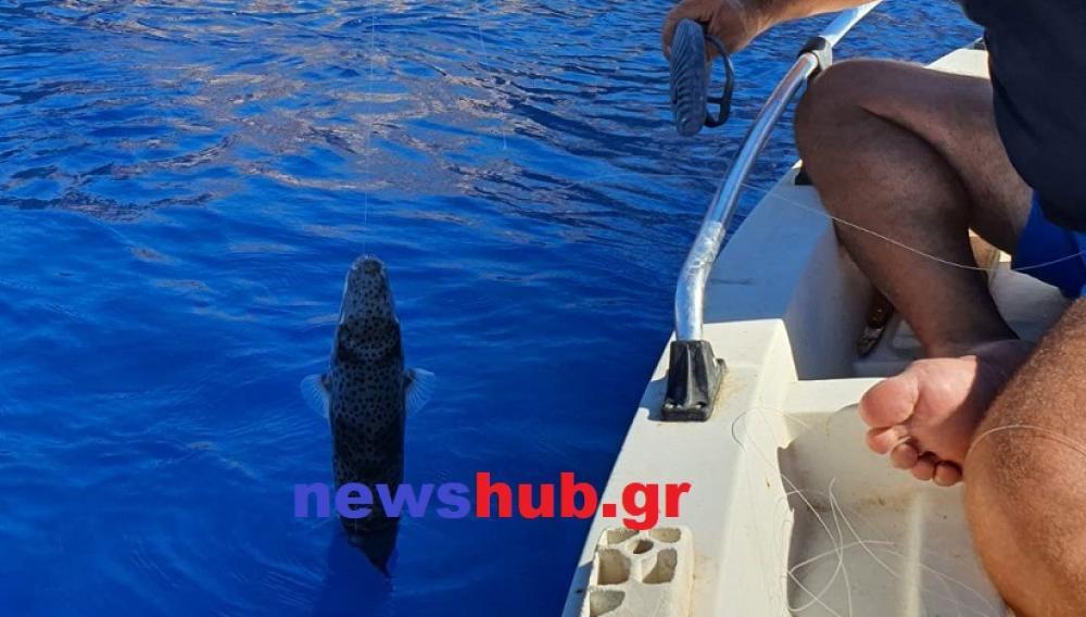 Θέμα newshub.gr: Ψαρεύουν λαγοκέφαλα παντού στην Κρήτη!