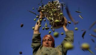 Ηράκλειο:  Ώρα αποφάσεων για ελιές και αμπέλια