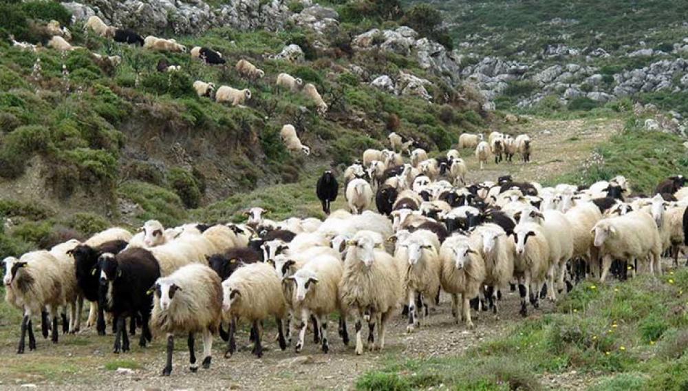 Ηράκλειο: Τον έπιασαν με τα κλεμμένα πρόβατα- Νέα υπόθεση ζωοκλοπης
