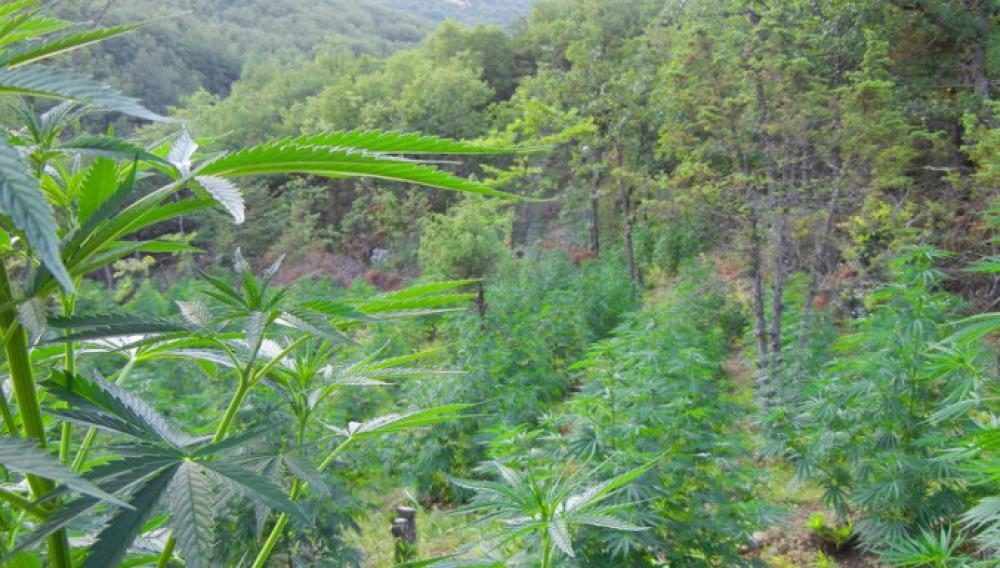 Ξεριζώθηκε τεράστια φυτεία χασίς με περισσότερα από 2.000 δέντρα