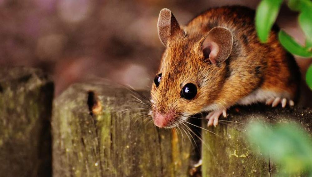 Ηράκλειο: Αναζητούν ευθύνες μετά το δάγκωμα του... ποντικου
