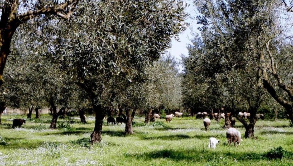 Κρήτη: Με drones στη μάχη για την... ελιά (φωτογραφίες)