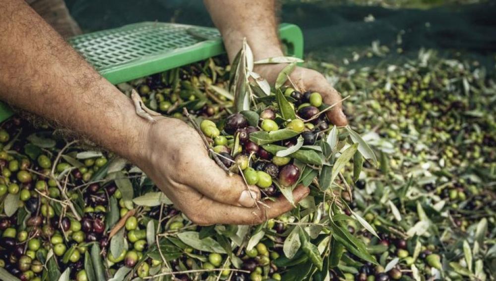 «H τιμή του λαδιού και της ελιάς στο ναδίρ, το κόστος δακοκτονίας στο ζενίθ»