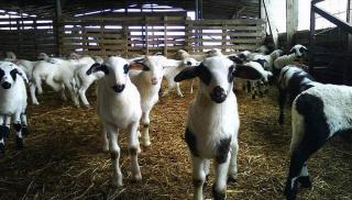 Θέμα newshub.gr: Καταβάλλεται στους κτηνοτρόφους έκτακτη ενίσχυση 30 εκ. ευρώ!