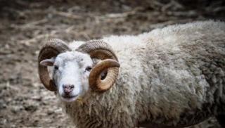 Κρήτη: Κριάρι κουτούλησε κτηνοτρόφο και τον έριξε σε γκρεμό!