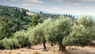 To Mαρόκο, με 1,2 εκ. στρέμματα λιόφυτα, αλλάζει τις ισορροπίες στην αγορά του ελαιολάδου!