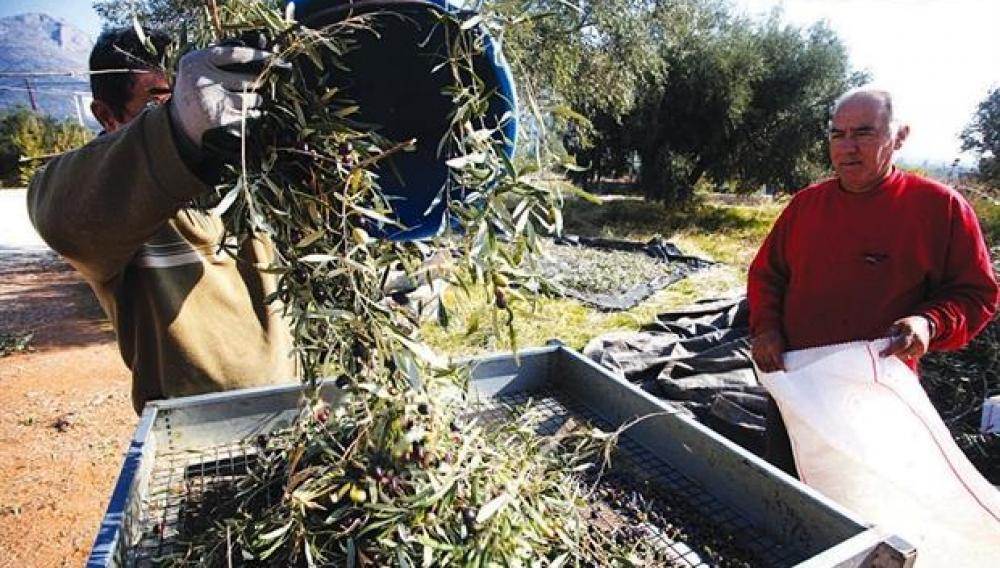 Θέμα newshub.gr: Αναζητούν από τώρα εργάτες για το μάζεμα των ελιών!