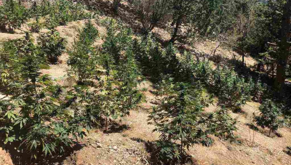 Κρήτη: Είχε 300 δενδρύλλια κάνναβης περιποιημένα και σε ειδικό χώρο! (φωτογραφίες)