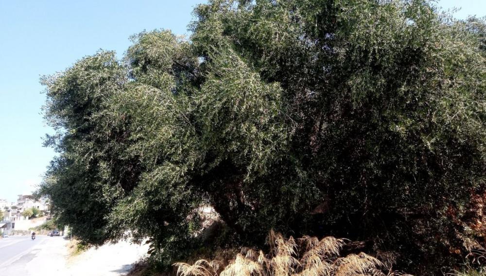 Οι ελιές μέσα στην πόλη του Ηρακλείου που κοντεύουν να σπάσουν από τη βεντέμα (φωτογραφίες)