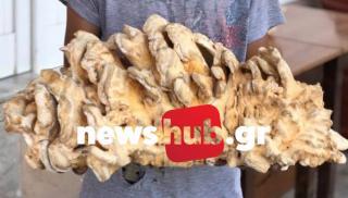 Ηράκλειο: Ο πιτσιρικάς που ανακάλυψε ένα σπάνιο μανιτάρι - γίγα 5 κιλών! (φωτογραφίες)