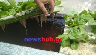 Θέμα newshub.gr: Το μοναδικό σύστημα με τα ψάρια που παράγει... κηπευτικά (βίντεο + φωτογραφίες)